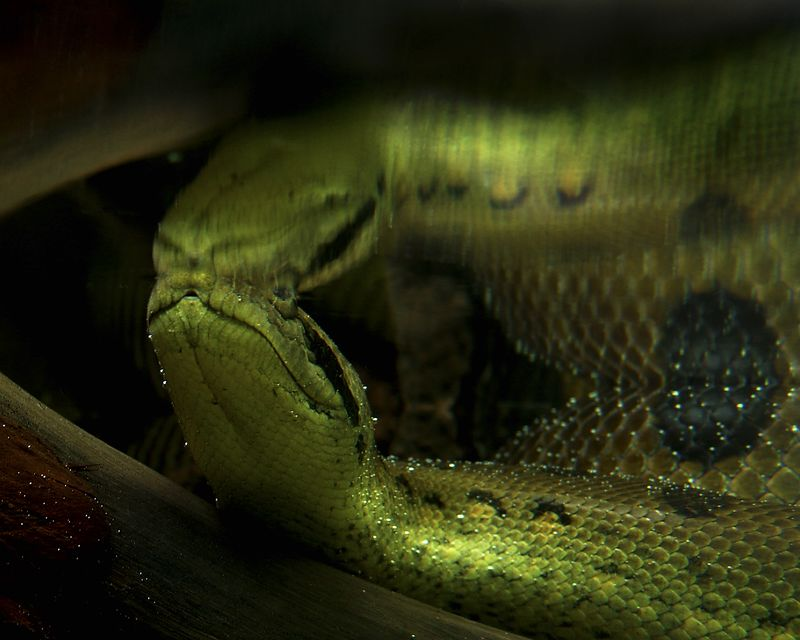 Anaconda Under Water<br /> <br /> Recommended Sizes: 4 x 5, 8 x 10, 16 x 20