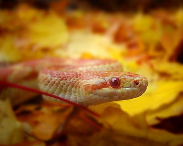 Albino Ret Rat Snake  Recommended Sizes: 4 x 5, 8 x 10, 16 x 20