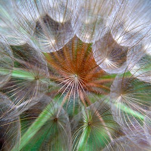 Salsify Seed Head  Recommended Sizes: 6 x 6, 12 x 12, 24 x 24 (square). This one looks great big!