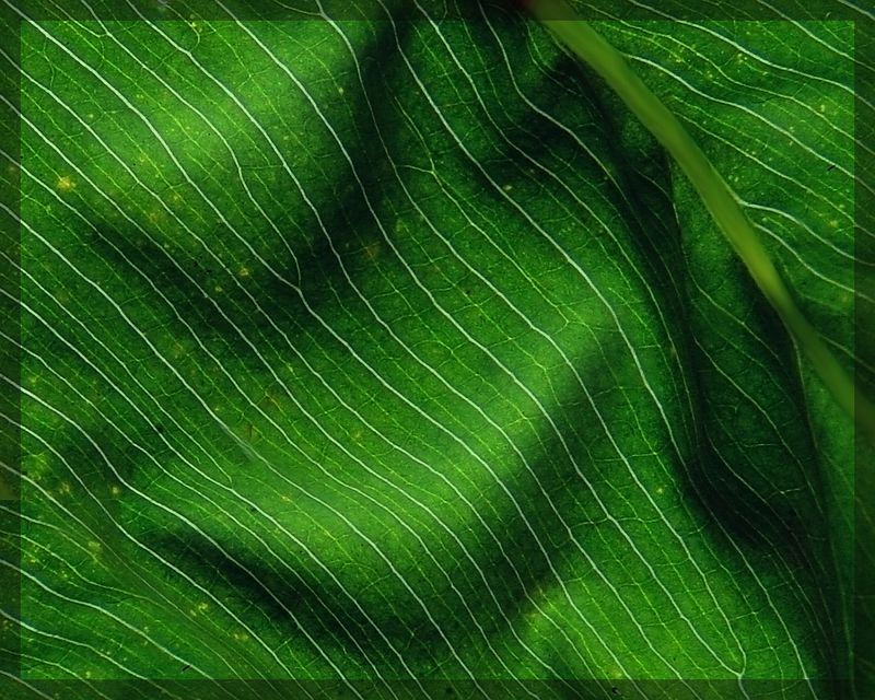 Leaf Study<br /> <br /> Recommended Sizes: 4 x 5, 8 x 10, 16 x 20
