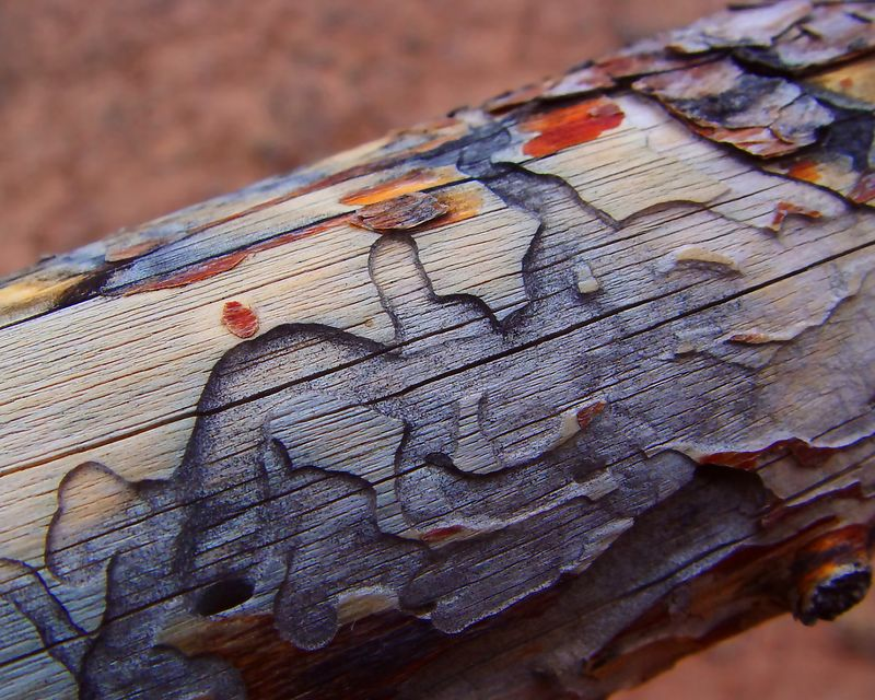 Bark Beetle Trails<br /> <br /> Recommended Sizes: 4 x 5, 8 x 10, 16 x 20