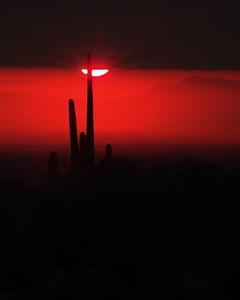 Saguaro Cactus; Lost Dutchman State Park, Arizona  Recommended sizes: 4 x 5, 8 x 10, 16 x 20