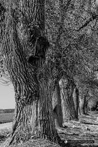 Fort Morgan Cemetery & Farm Trees