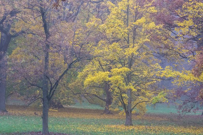 Autumn Gold in the Mist