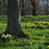Morning Sun on the Daffodil Glade
