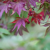 Crimson Maple