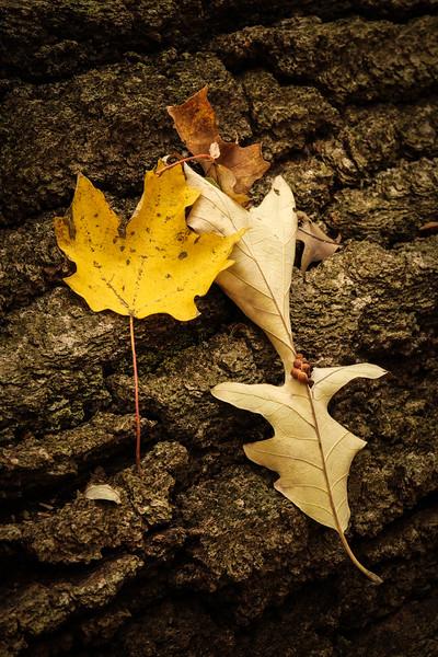 Maple & Oak