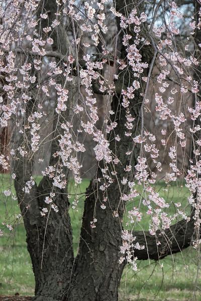 Sakura Veil