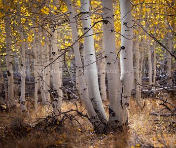 Aspens show off their fall color