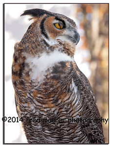 """The """"blink"""" of an owl!  (The nictitating membrane or """"third eyelid"""", used to clean & protect the eye.)"""