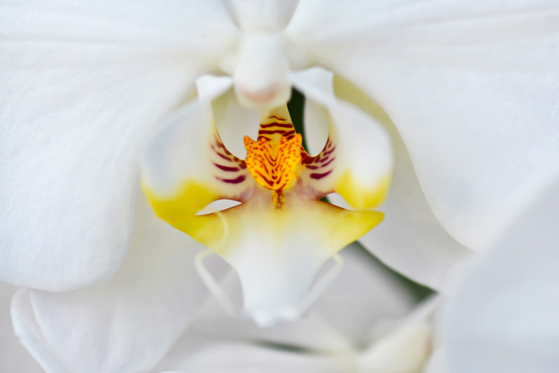 Eye Of The Lily