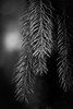 B&W image of the evergreens.