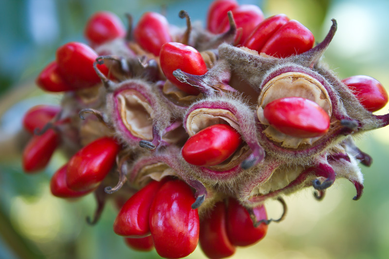 Fall seed pods bursting with color.