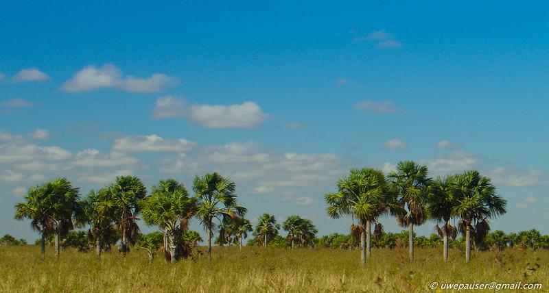 DSC01209 - Grupo de Palmas Moriche (Llanos de Venezuela)