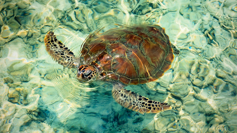 Indo Sea Turtle