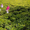 Ladies of the Tea Field