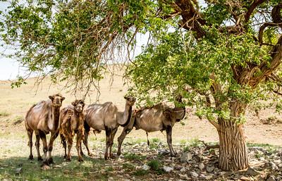 Bactrian camel, Steppe grassland, Mongolia Altanbulag