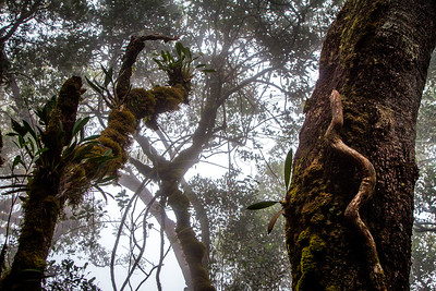 Cloud forest, Mount Kinabalu Borneo