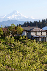Traveling around White Salmon I came across this view of Mt. Hood with a vineyard in the foreground. I have decided that this may be one of my top 10 dream home locations.