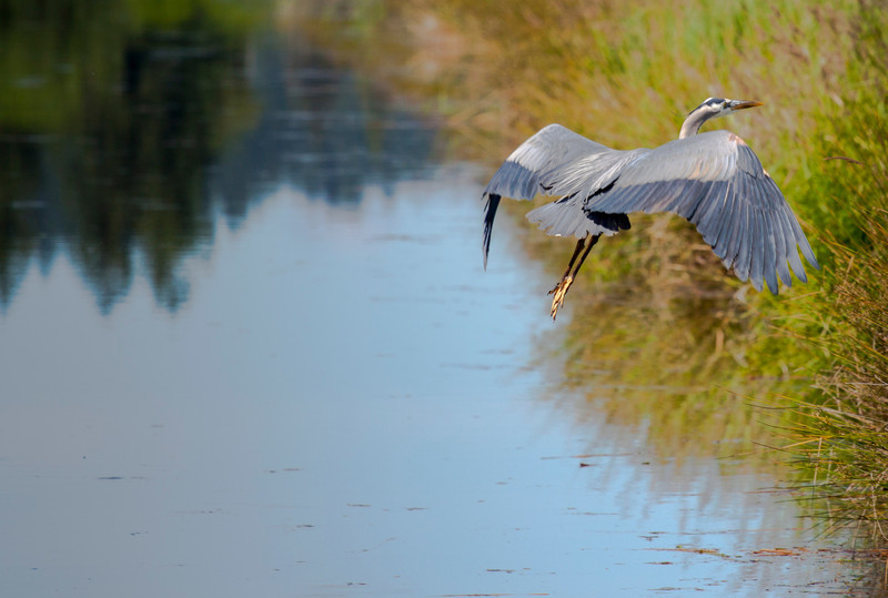 """The Blue Herron are the bravest on the refuge. They never take off when the eagles the call it home as well. Just between Tigard and Sherwood Oregon along highway 99 is the <a href=""""http://www.fws.gov/tualatinriver/"""" target=""""_blank"""">Tualatin Wildlife Refuge</a>. Google maps when I looked it up has this refuge as in Hillsboro. Don't look for it there or you will be looking a very long time."""
