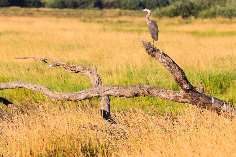 "Great Blue Heron on Log.   ""Located on the outskirts of Portland, Tualatin River National Wildlife Refuge is one of only a handful of urban national wildlife refuges in the country. Situated within the floodplain of the Tualatin River, the Refuge comprises less than 1% of the 712 square mile watershed. Yet, due to it's richness and diversity of habitats, the Refuge supports some of the most abundant and varied wildlife in the watershed. The Refuge is now home to nearly 200 species of birds, over 50 species of mammals, 25 species of reptiles and amphibians, and a wide variety of insects, fish and plants. The Refuge has also become a place where people can experience and learn about wildlife and the places they call home."" <a href=""http://www.fws.gov/tualatinriver/"">US Fish and Wildlife Service</a>"