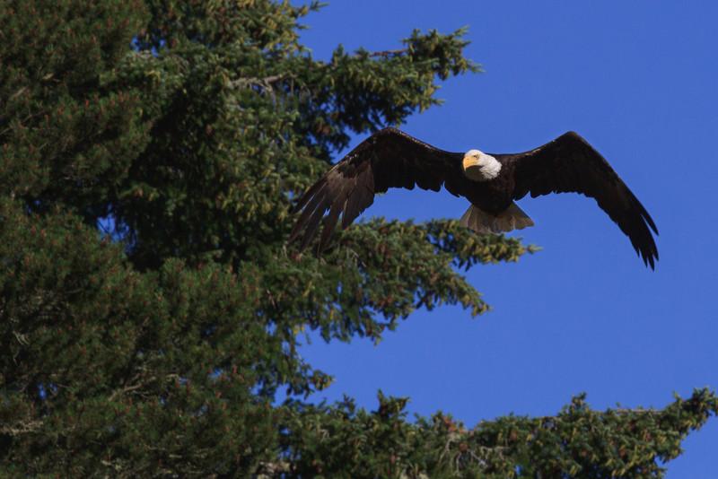 "Golden Eagle in Flight.    <a href=""http://www.visitsanjuans.com/"">Visit San Juan</a>"