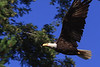 Golden Eagle in Flight.    Visit San Juan