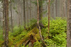 Tongass National Forest - lush, temperate rainforest growth detail - near Juneau, Alaska