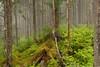Tongass National Forest - lush, temperate rainforest growth detail - near Juneau, Alaska