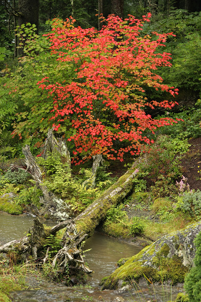 Red Maple in Tongass National Forest - temperate rainforest growth detail - near Juneau, Alaska
