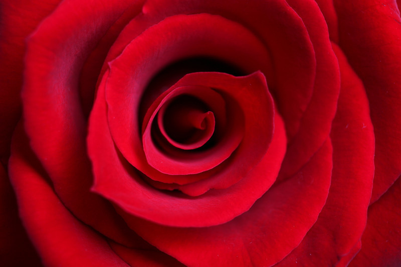 Red rose blossom macro. Extreme close-up with shallow depth of field.