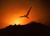 "Inspiring seagull soaring over mountain sunrise.  Click the ""Buy"" or shopping cart button (above the image) to purchase prints or downloads."