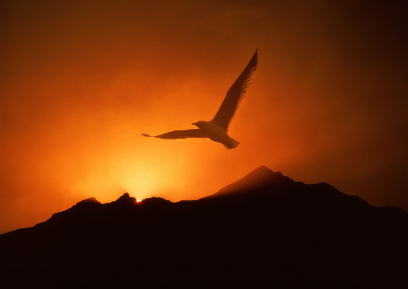 """Inspiring seagull soaring over mountain sunrise.  Click the """"Buy"""" or shopping cart button (above the image) to purchase prints or downloads."""