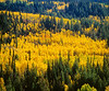 Autumn Aspen trees nestled among the conifers within the Uinta National Forest, on the Mount Nebo Scenic Loop Byway, Utah.