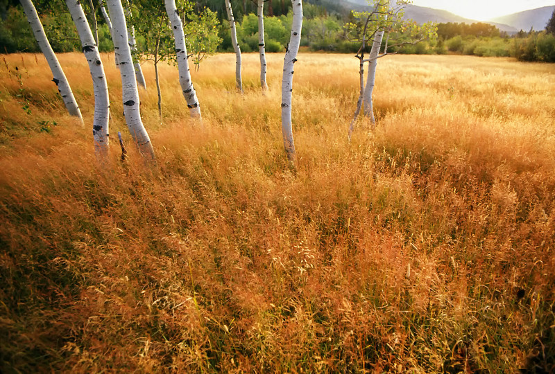 """Aspen trees in a golden meadow -  panoramic scenic landscape. (To purchase prints or downloads, click on the """"Buy"""" or shopping cart button above the image.)"""