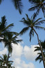 Coconut Palm Trees and Blue, Sunny Sky