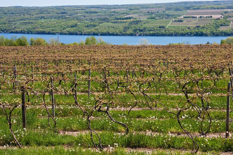 Wine vineyard - new Spring growth - near Seneca Lake, Finger Lakes area, Western New York