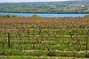 Wine vineyard - new Spring growth - near Seneca Lake, Finger Lakes area, Western New York