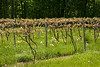 Wine vineyard - new Spring growth - Finger Lakes area, Western New York