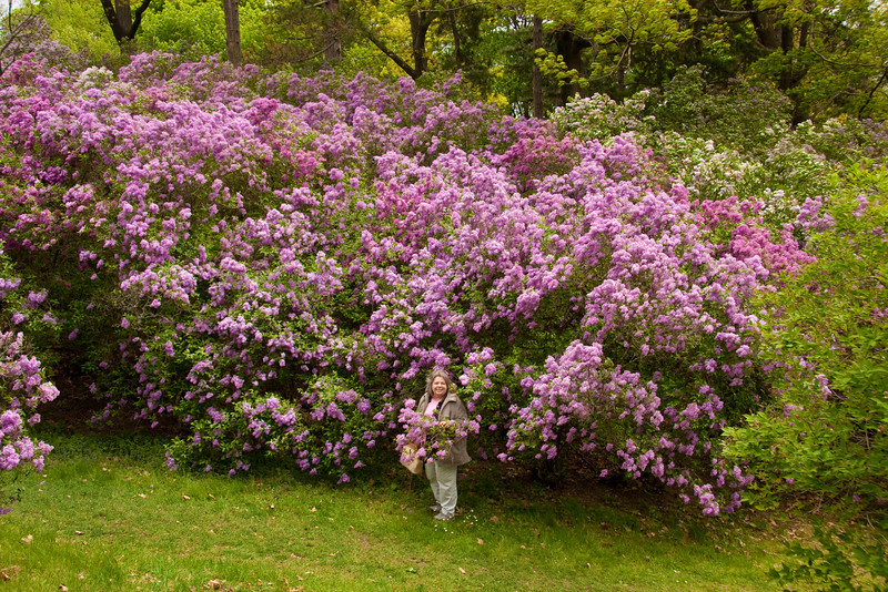 Woman (Linda) standing blooming lilac bushes at Rochester, NY festival