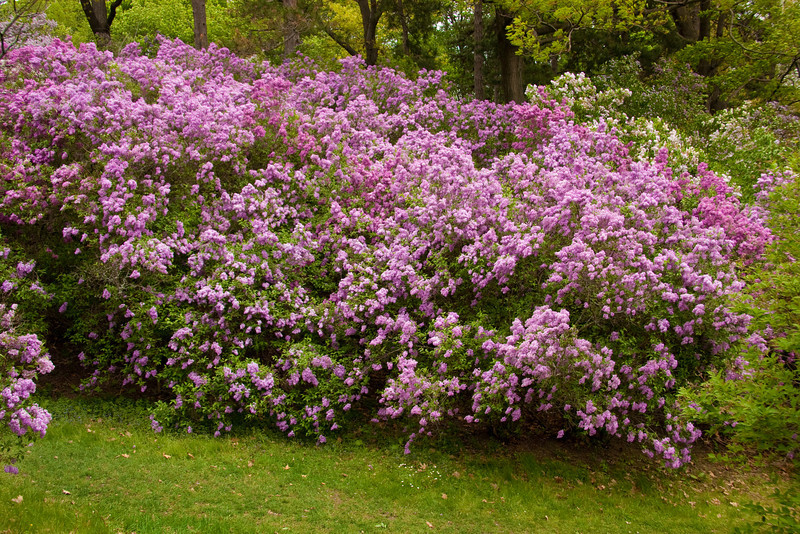 Blooming lilac bushes at Rochester, NY festival