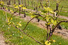 Wine vineyard - new Spring growth