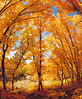 Beneath an arching grove of Bigtooth Maple trees (Acer grandidentatum) ablaze with autumn colors.
