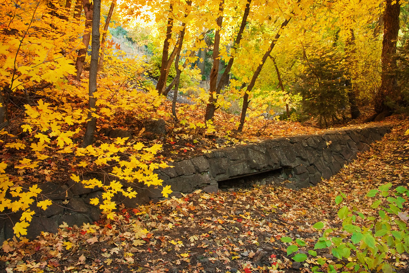 Bigtooth Maple grove with old stone wall in Millcreek Canyon, Salt Lake City area, Utah. October autumn leaves.