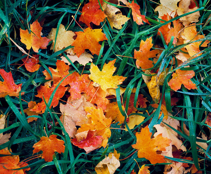 Close-up of Autumn Leaves on the Forest Floor<br /> Close-up (showing dew drops) of autumn maple leaves (Acer grandidentatum or Bigtooth Maple) scattered in the meadow grass of the forest floor. Photographed with 6cm x 7cm film camera.