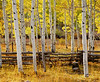 Backlighted autumn Aspen trees with a rustic aspen log fence. Within the Unita National Forest, on the Mount Nebo Scenic Byway, Utah.