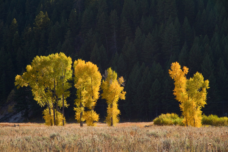 Autumn cottonwood trees in Antelope Flats - Grand Teton National Park. This is the Narrowleaf Cottonwood (Populus angustifolia).