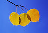 Close-up of three yellow aspen leaves, in their autumn colors, backlighted against the blue sky