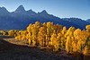 Autumn cottonwood trees under the Grand Tetons in Grand Teton National Park