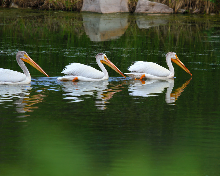 Amercian White Pelican - Grand Teton National Park